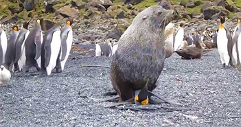 Hải cẩu với chim cánh cụt - mối tình ngang trái nhất quả đất đã xuất hiện