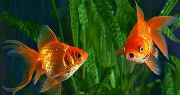 Những điều chưa biết về não cá vàng