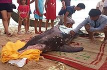 Cá heo khổng lồ dạt vào bờ biển Huế