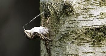 """""""Bắt quả tang"""" chim nhỏ lén lút ăn cắp tơ nhện làm tổ"""