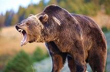 Bị gấu hoang tấn công, người đàn ông sống sót nhờ cách đặc biệt