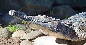 Cá sấu hé lộ điều kiện khí hậu Trái đất hàng triệu năm trước