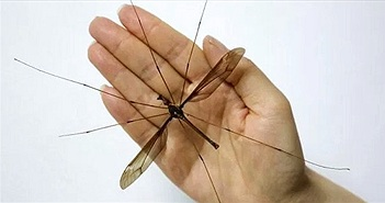 Hãi hùng muỗi to hơn bàn tay ở Trung Quốc