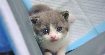 Chiêm ngưỡng chú mèo nhân bản đầu tiên của Trung Quốc