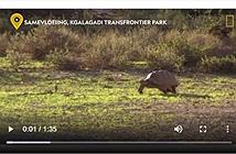 Video: Bật cười khi sư tử lúng túng không biết làm sao để ăn thịt rùa