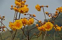 """Hoa mai đăng - loài hoa đẹp gây sốt"""" ở Việt Nam"""