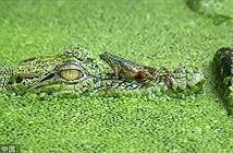 Ếch to gan nhảy thẳng đầu cá sấu khổng lồ trêu ngươi