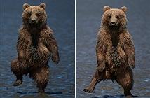 Gấu con nhảy nhót vũ điệu rừng rậm dọa nhiếp ảnh gia
