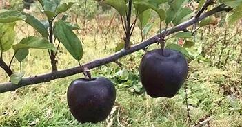 """Giống táo kim cương đen siêu """"độc"""", sản phẩm độc đáo mùa Halloween"""