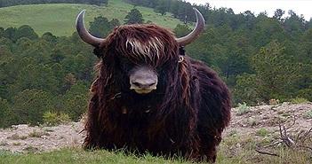 Đây chính là loài vật quan trọng nhất đối với người Tây Tạng