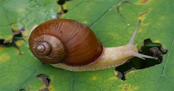 Nọc độc của ốc sên biển có thể chữa bệnh tim mạch và cao huyết áp