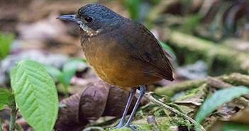 """Phát hiện một loài chim mới """"siêu nhút nhát"""" ở Colombia"""