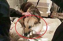 Chụp X-quang chú chó bị bỏ rơi, rùng mình nhìn điều đau xót trong bụng