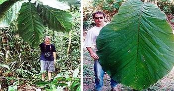 Cây rừng Amazon có lá dài hơn người trưởng thành