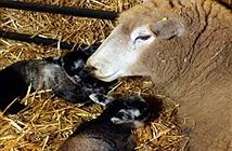 Cừu trinh nữ đẻ sinh đôi tại Anh