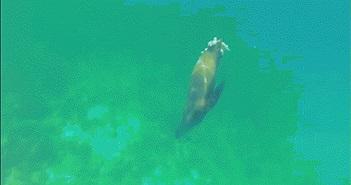 """Đứt 1/3 cơ thể, sư tử biển vẫn săn mồi gây """"sốc toàn tập"""""""