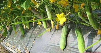 Hướng dẫn cách trồng dưa leo trong chậu an toàn, sai quả
