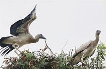 Tận mắt cò nhạn quý hiếm đậu bến Vườn chim Bạc Liêu