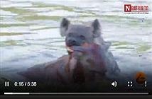 Video: Linh cẩu tàn độc hành hạ man rợ đồng loại dưới nước