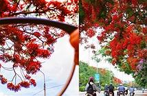 Hoa phượng đỏ rực rỡ trên Facebook tháng 5