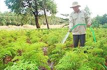 Cách chăm sóc và thu hoạch cây đinh lăng