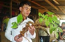 Đào được củ sâm Ngọc Linh 100 năm tuổi