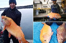 Bắt được cá vàng thành tinh gần 100 tuổi, dài cả mét