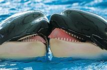 Lần đầu tiên ghi hình cá voi sát thủ hôn môi để giảng hòa