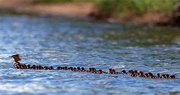 76 vịt con xếp hàng dài bơi theo mẹ gây sốt