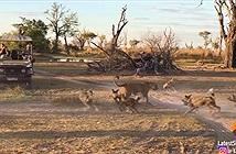 Bầy chó hoang không biết trời cao đất dày, tấn công, vây khốn sư tử