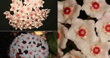 Nhận dạng loài hoa được tìm thấy sau 100 năm ở Hải Phòng