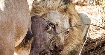 Lợn rừng đã trốn dưới đất, sư tử vẫn quyết lôi lên ăn thịt