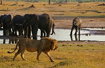 Sư tử và cá sấu kịch chiến căng thẳng giành xác voi