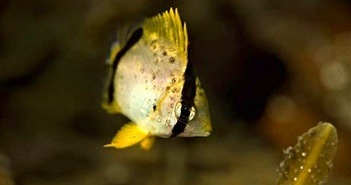Cá vùng nhiệt đới 'xâm lược' biển Canada do biến đổi khí hậu