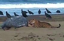 Bất ngờ với cảnh báo đốm ăn thịt rùa lớn nhất thế giới