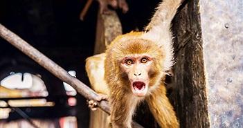 Các nhà khoa học đang tạo ra loài động vật lai giữa người và khỉ