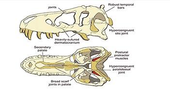 Hộp sọ của T-rex cứng đến mức chính nó cũng không thể cắn vỡ