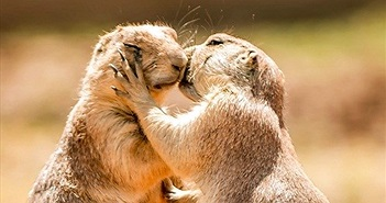 Cầy thảo nguyên hôn nhau thắm thiết khiến con người ghen tị