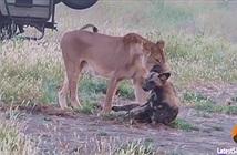 Chó hoang bị sư tử ngoạm chặt cổ vẫn tẩu thoát ngoạn mục