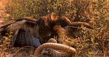 Video: Mải săn mồi, rắn đuôi chuông bị diều hâu xé thịt ăn sống