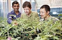 Loài cây có khả năng chết đi sống lại khiến các nhà khoa học đau đầu