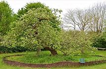 Sự thật về cây táo Newton 400 năm trước