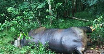 Bò tót 700kg ở Đồng Nai chết trong rừng vì lý do này