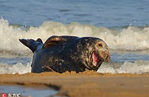 Hải cẩu cười như được mùa khi nhiếp ảnh gia chú ý
