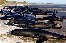 Xót xa hàng trăm cá voi mắc cạn và thiệt mạng trên biển