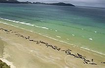 Xác 145 con cá voi phủ dọc bãi biển New Zealand