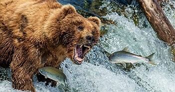 Gấu nâu hoang dã phấn khích tột độ khi vào mùa cá hồi