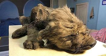 Chó non đông cứng 18.000 năm còn nguyên lông
