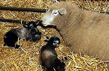 Chuyện lạ về cừu đồng trinh đẻ sinh đôi