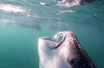 Đây chính là hàm cá mập lớn nhất thế giới